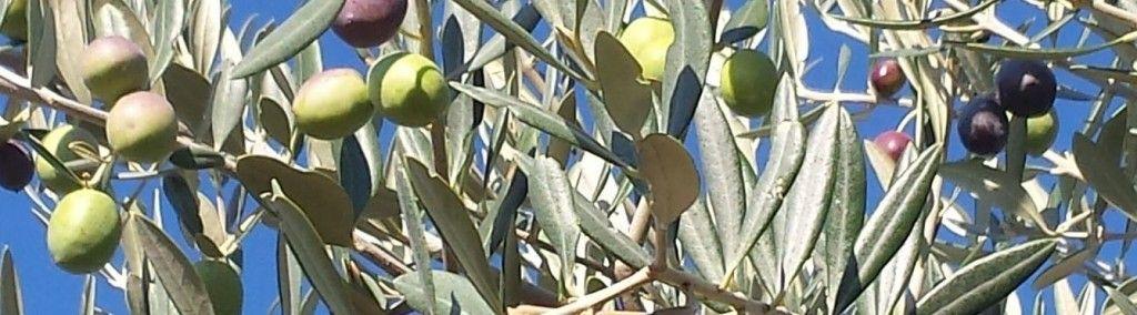 Picual Tricolor en la misma rama