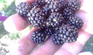 JAEN BLACKBERRIES 1
