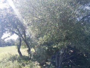olivo-salvaje
