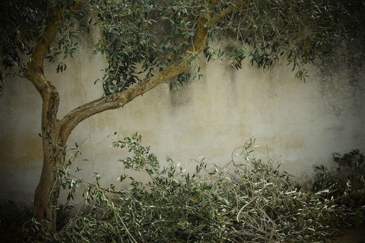 olive tree 1756611 1280